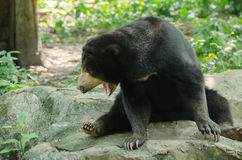 Malayun sun bear Stock Images