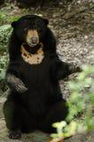 Malayun sun bear Stock Photo