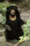 Malayun sun bear Stock Image