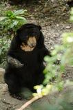 Malayun sun bear Stock Photos