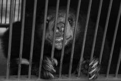 Malayun sun bear live in cave Royalty Free Stock Photo