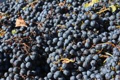 Malbec druiven - Mendoza Argentinië Stock Fotografie