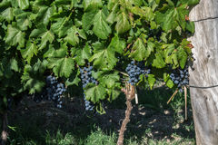 Malbec Grapes Stock Photos