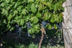 Malbec Grapes Stock Photos