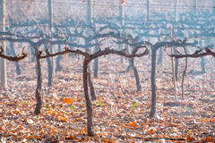 Malbec in late autumn Stock Photo