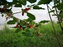 Malberry, de natuurlijke tuin van Morus Royalty-vrije Stock Foto's
