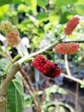 Malberry. Tree Stock Photo