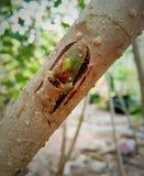 Malberry. Tree Stock Photos