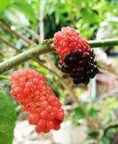 Malberry. Tree Royalty Free Stock Photos
