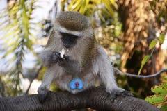 Malbrouck en el parque nacional de Chobe Fotografía de archivo libre de regalías