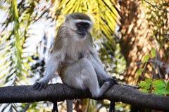 Malbrouck en el parque nacional de Chobe Imágenes de archivo libres de regalías