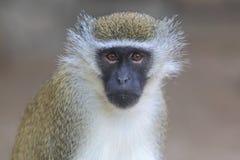 Malbrouck monkey Stock Photo