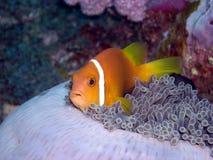maldive银莲花属的鱼 免版税图库摄影