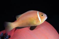 Maldive anemonefish. And sea anemone Stock Images