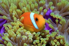 Maldive anemonefish. (Amphiprion nigripes) and sea anemone Stock Photo