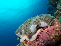 Maldive Anemonefish Στοκ Εικόνα