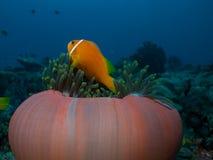 Maldive Anemonefish Royaltyfria Bilder