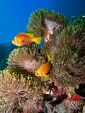 Maldive anemonefish. Amphiprion nigripes, in a cluster of pale coloured Ritteri anemones. Maldives, Indian Ocean stock images