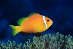 Maldive anemonefish Stock Photo