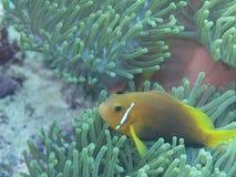 Maldive anemonefish - Blackfoot anemonefish Στοκ φωτογραφία με δικαίωμα ελεύθερης χρήσης