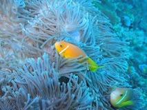 Maldive anemonefish - Blackfoot anemonefish Στοκ Φωτογραφίες