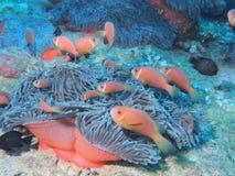 Maldive anemonefish - Blackfoot anemonefish Stock Image