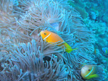 Maldive anemonefish - Blackfoot anemonefish Stock Photos