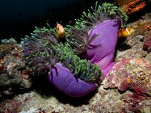 Maldive anemonefish in huge anemone. Maldive anemonefish, Amphiprion nigripes, in a purple and green Ritteri anemone.  Maldives, Indian Ocean Stock Images