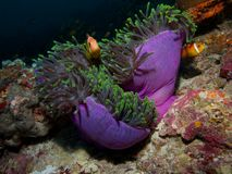 Maldive anemonefish Royalty Free Stock Image