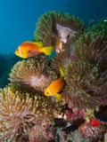 Maldive anemonefish. Wide-angle close-up portrait of a pair of Maldive anemonefish in a cluster of Heteractis magnifica anemones royalty free stock images