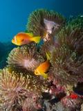Maldive anemonefish Royalty Free Stock Images