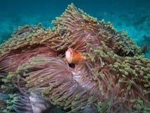 maldive anemonefishblackfoot Royaltyfri Fotografi