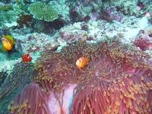 maldive anemonefishblackfoot arkivfoto