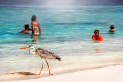 Maldiverna ö semesterort - oktober 18, 2014: Härlig lös vit häger med folk på strandsemesterorthotellet i den Maldiverna agaien Royaltyfria Bilder