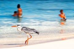 Maldiverna ö semesterort - oktober 18, 2014: Härlig lös vit häger med folk på strandsemesterorthotellet i den Maldiverna agaien Royaltyfri Fotografi
