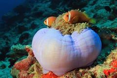 Maldiverna Anemonefish i en anemon, Arkivbild