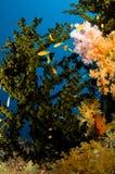 Maldiverna, dykning och kulöra koraller Arkivbild