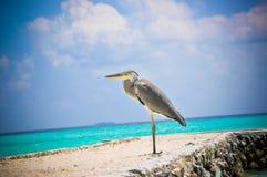 Maldiverna Makana fågel 13 Arkivbilder