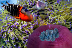 Maldives anemonfish. Red Sea. Anemonefish hides among the tentacles of anemone Royalty Free Stock Images