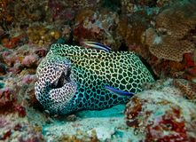In the Maldives is a beautiful underwater fish leopard pattern, God created beautiful. Everyone should see this scene once in your life, water life, the Royalty Free Stock Photo
