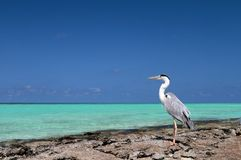 Maldives and bird. Bird in the Maldives and blue water and sky Stock Images