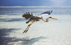 Maldives bird Royalty Free Stock Photography