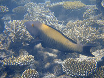 maldives ciemny parrotfish Zdjęcie Stock