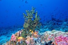 Maldives corals and Fish underwater panorama Stock Image