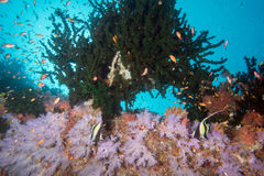 Maldives corals and Fish underwater panorama Stock Images