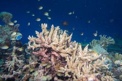 Maldives corals house for Fishes. Underwater landscape Royalty Free Stock Photo