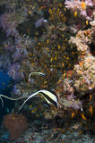 Maldives, diving and colored corals. Reef and colored corals, Indian Ocean, Maldives Royalty Free Stock Photography