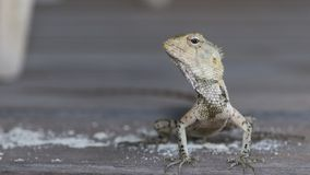 Maldives have iguana, many types, lizard. Maldives have iguana, many types, There are many kinds of creatures in Maldives, lizard Stock Photo