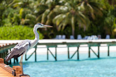 Maldives, a local bird is standing on the beach Stock Image