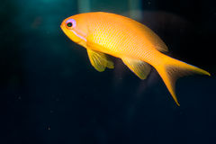 Maldives Lyretail Anthias in Aquarium Royalty Free Stock Photo